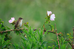 Sedge warbler Acrocephalus schoenobaenus. With flowers Royalty Free Stock Photo