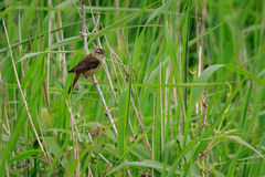 Sedge warbler Acrocephalus schoenobaenus. In a reed bed Stock Photography