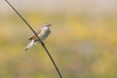 Sedge Warbler (Acrocephalus schoenobaenus) singing. A Sedge Warbler (Acrocephalus schoenobaenus) singing  on the reed Stock Image