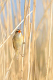Sedge Warbler (Acrocephalus schoenobaenus). A Sedge Warbler (Acrocephalus schoenobaenus) singing in the reed Royalty Free Stock Photos
