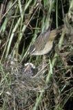 Sedge warbler, Acrocephalus schoenobaenus Royalty Free Stock Image