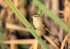 The sedge warbler Acrocephalus schoenobaenus sits on a reed in the soft morning light. Close-up and detailed photo Stock Photography
