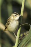 Sedge warbler  / Acrocephalus schoenobaenus. Sedge warbler standing on the reed and observing close-up / Acrocephalus schoenobaenus Stock Photography