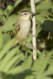 Sedge warbler /  Acrocephalus schoenobaenus Stock Photos