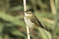 Sedge warbler /  Acrocephalus schoenobaenus. Sedge warbler standing on the reed and observing close-up / Acrocephalus schoenobaenus Royalty Free Stock Photography
