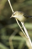 Sedge warbler /  Acrocephalus schoenobaenus. Sedge warbler standing on the reed and observing close-up / Acrocephalus schoenobaenus Royalty Free Stock Photo