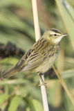 Sedge warbler / Acrocephalus schoenobaenus. Sedge warbler standing on the reed and observing close-up / Acrocephalus schoenobaenus Stock Photos