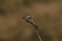 The Sedge Warbler Royalty Free Stock Image