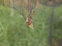 Sedge Warbler caught in net. A Sedge Warbler (Acrocephalus schoenobaenus) caught in a net royalty free stock photo