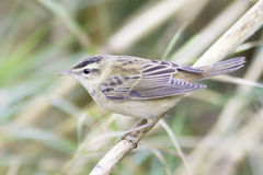 Sedge warbler  close-up / Acrocephalus schoenobaenus Stock Images