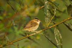 Sedge Warbler Royalty Free Stock Images