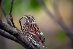 Sedge Warbler nestling, Acrocephalus schoenobaenus Royalty Free Stock Images