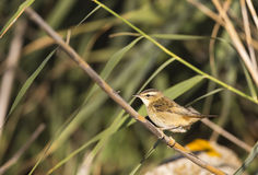 Sedge Warbler on A Reed (Acrocephalus schoenobaenus) Stock Photo
