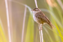 Sedge warbler in reed habitat. Sedge warbler (Acrocephalus schoenobaenus) on reed (Phragmites australis) stem with field of reed in background Royalty Free Stock Photos