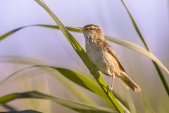 Sedge warbler in reed plant. Sedge warbler (Acrocephalus schoenobaenus) on reed (Phragmites australis) plant stem with field of reed in background Royalty Free Stock Photo