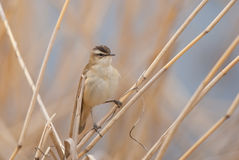Sedge warbler on a reed stem Stock Photos