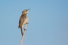 Sedge warbler. Singing on top of a reed stem Stock Photography
