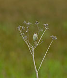 Sedge Warbler singing Stock Image
