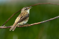 Sedge Warbler. A singing bird. Warbler in a natural habitat. Wildlife Photography Stock Photography