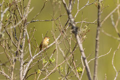 Sedge Warbler singing. In spring Royalty Free Stock Image