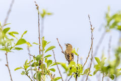 Sedge warbler singing. From a treetop Royalty Free Stock Photo
