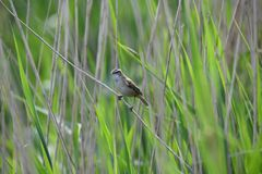 Sedge warbler sitting on the reed stock image