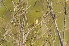 Sedge Warbler in a tree. Sedge Warbler sitting on a branch Stock Photography