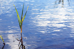 Sedge In Water Royalty Free Stock Image