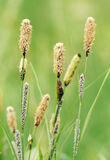 Sedges inflorescences. With male and female flowers. Close up photo royalty free stock images