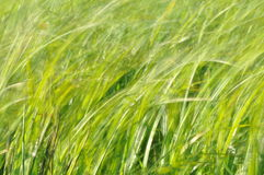 Sedges swaying in the wind. Wet meadow during haymaking. Lush green Stock Image