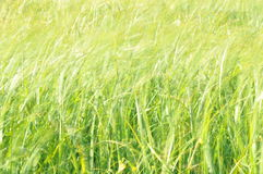 Sedges swaying in the wind. Wet meadow during haymaking. Stock Photography