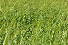 Sedges swaying in the wind. Wet meadow during haymaking. Stock Photos
