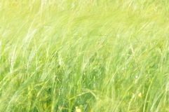 Sedges swaying in the wind. Wet meadow during haymaking. Royalty Free Stock Photos