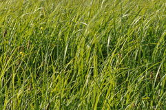 Sedges swaying in the wind. Wet meadow during haymaking. Royalty Free Stock Image