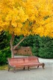 Sedia bassa delle feci con l'albero coperto di foglie giallastro di autunno in un parco Baku Azerbaijan Immagini Stock