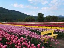 Sedia del banco che si siede fra bella Tulip Field colorata Fotografia Stock