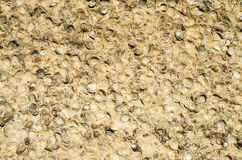 Sediment rock with fossilized seashells Stock Image