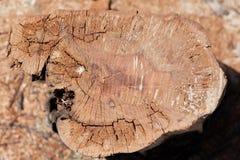 Sedno drzew tekstura Obraz Stock