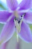Sedno dzwonkowego kwiatu zakończenie Obraz Royalty Free