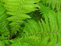 Sedno zielony paprociowy krzak w ogródzie Obrazy Royalty Free