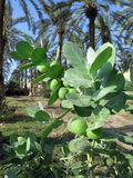 Sedom Apple Plant by the Dead Sea, Israel Stock Image
