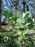 Sedom Apple planta por el mar muerto, Israel Imagen de archivo