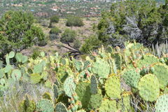 Sedona, Arizona cactus and desert vegetation Stock Images