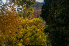 Sedona Arizona USA Fall Colors. A mountain peeks from behind a wall of color Royalty Free Stock Photography