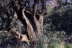 Sedona Arizona verdrehter Wacholderbusch Stockbild
