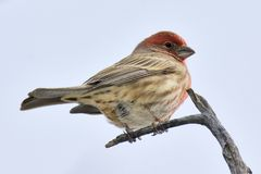 Sedona House Finch Stock Photography