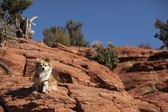 Sedona-Hund Stockbild
