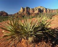 Sedona Kaktus Stockbild