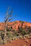 Sedona tough life. Dead tree in Sedona mountain Royalty Free Stock Photography