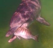 Sedoso el delfín solitario que come un luderick fotos de archivo
